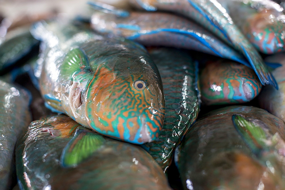 Parrotfish (Scaridae) an important herbivore in the coral reef ecosystem, for sale in Kudat fish market, Sabah, Malaysian Borneo, Malaysia, Southeast Asia, Asia  - 824-155