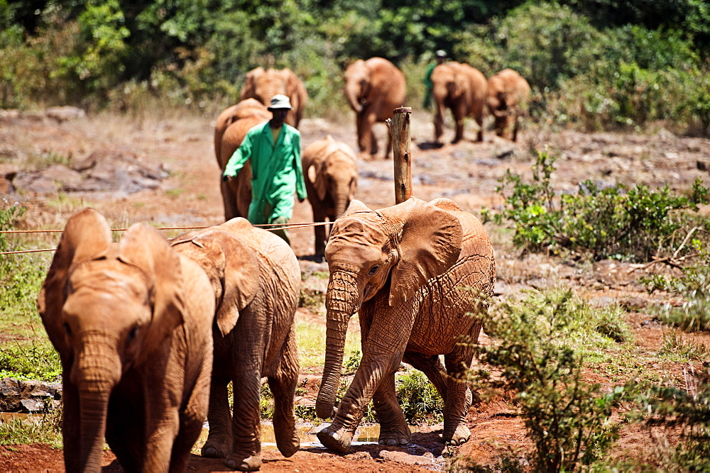 The David Sheldrick Elephant Orphanage takes in juvenile elephants (Loxodonta africana) orphaned by ivory poachers, Nairobi, Kenya, East Africa, Africa