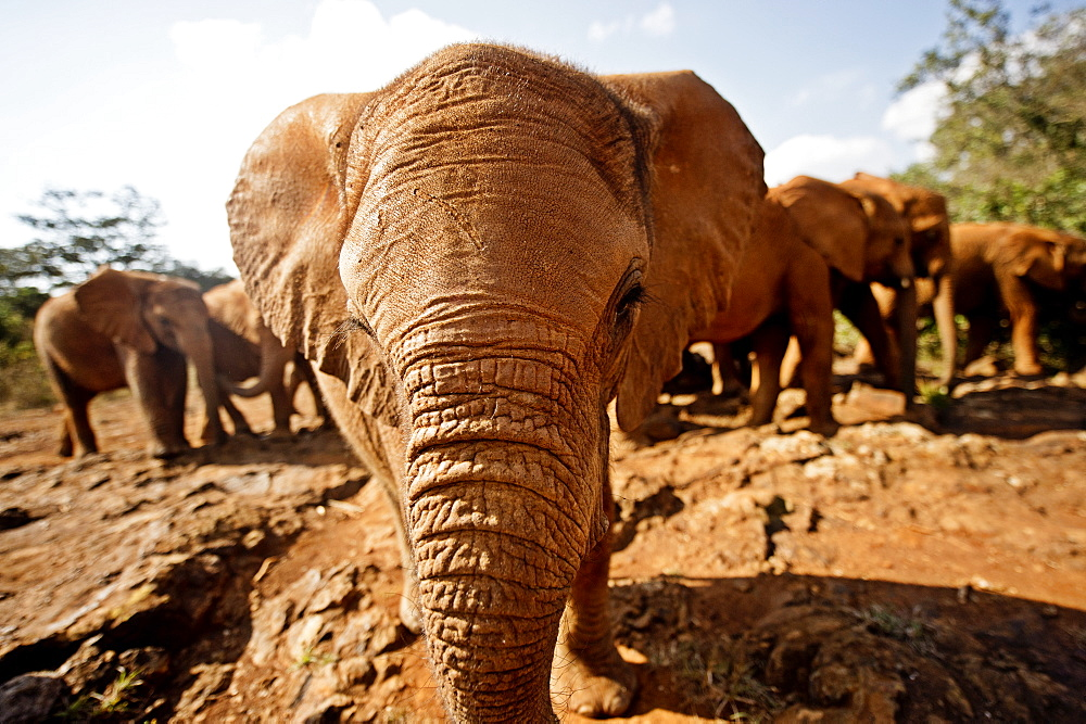Juvenile elephants (Loxodonta africana) at the David Sheldrick Elephant Orphanage, Nairobi National Park, Nairobi, Kenya, East Africa, Africa