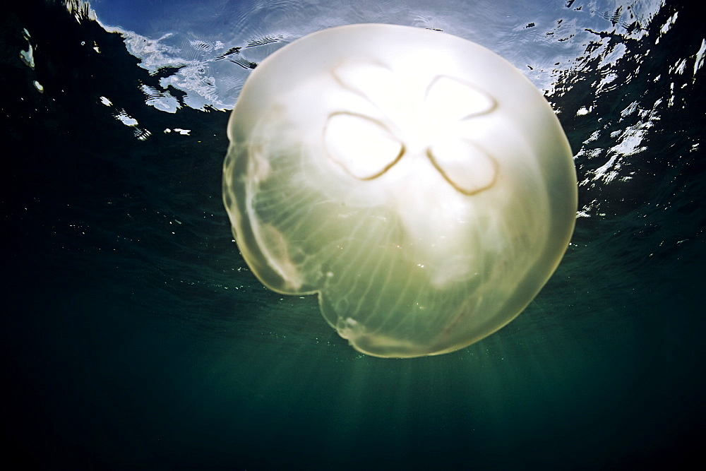 A moon jellyfish catches the sunlight, Antigua, Leeward Islands, West Indies, Caribbean, Central America - 824-22