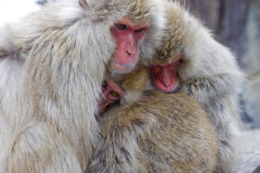 Snow monkeys in Nagano, Japan, Asia - 824-39