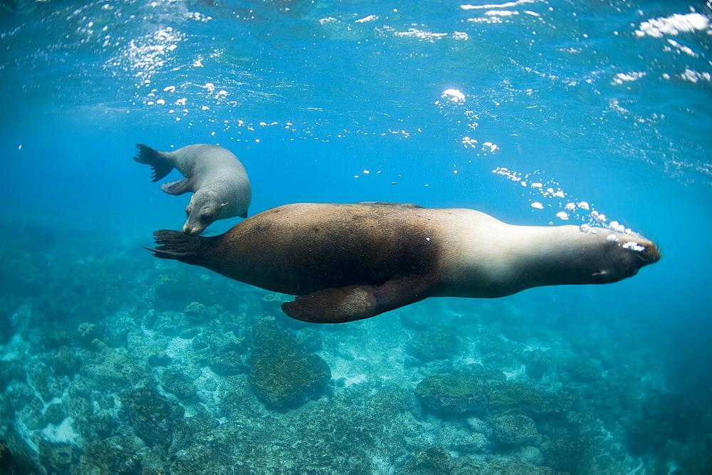 Two sea lions off Floreana Island, Galapagos, Ecuador, South America