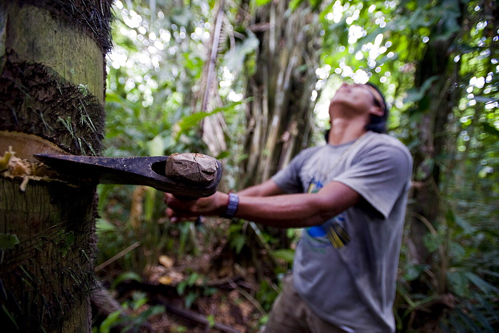 Cutting down a palm tree to collect larva to eat, Amazon, Ecuador, South America - 824-96