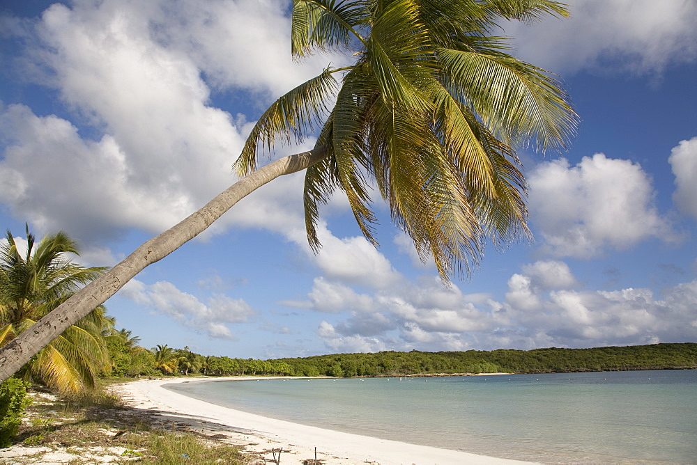 Palm tree and sandy beach in Sun Bay in Vieques, Puerto Rico, West Indies, Caribbean, Central America - 825-138