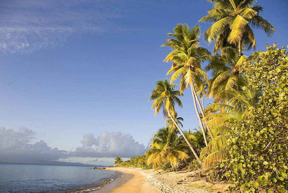 Palm trees on a sandy beach, Green Beach, Vieques, Puerto Rico, West Indies, Caribbean, Central America - 825-139