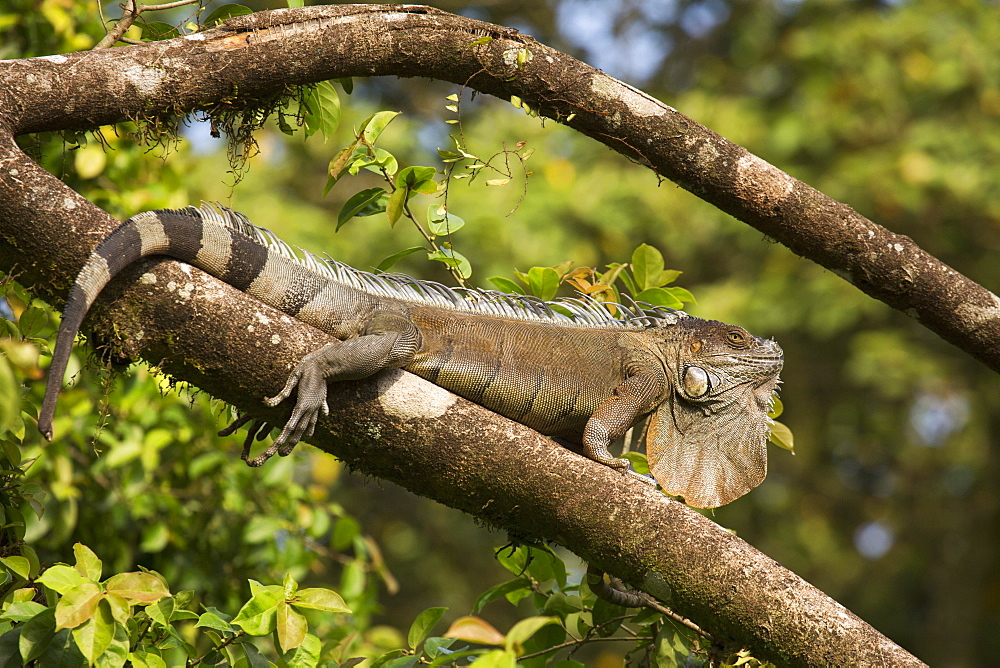 A green iguana (Iguana iguana) (common iguana) (American iguana), in the jungle of Costa Rica, Central America - 826-667