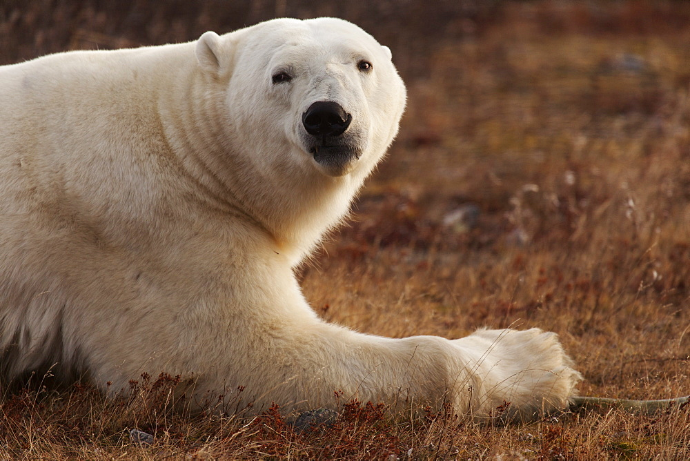 Alert polar bear (Ursus maritimus) on sub-arctic tundra grassland north of Churchill in Manitoba, Canada, North America
