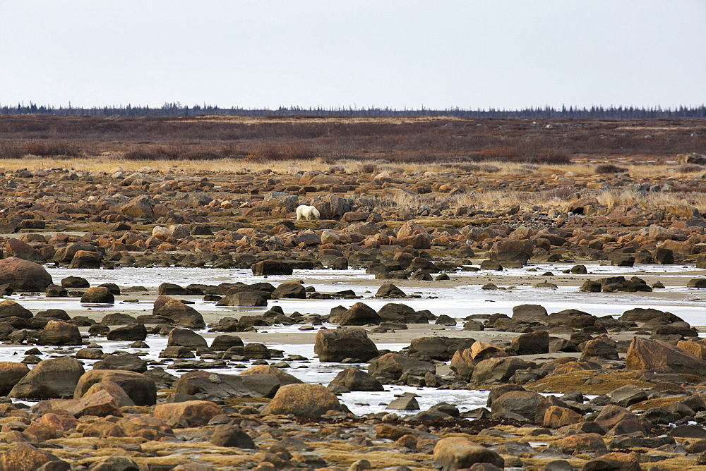 Alert polar bear (Ursus maritimus) on the rocky, sub-arctic shoreline of the Hudson Bay north of Churchill in Manitoba, Canada, North America