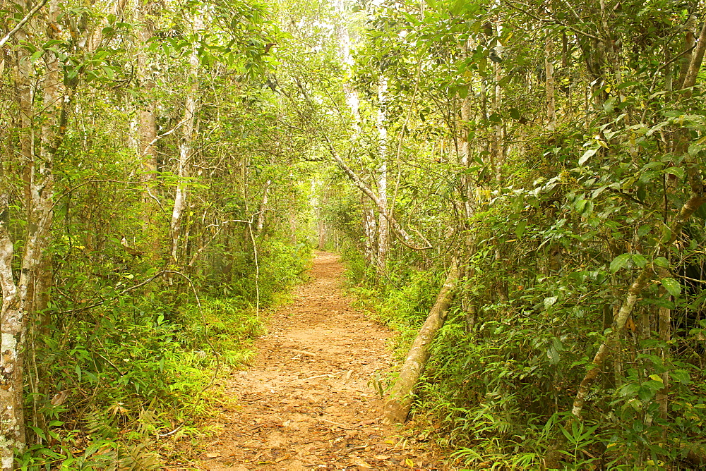 Walking trail through the secondary rainforest in Andasibe-Mantadia National Park in eastern Madagascar, Madagascar, Africa