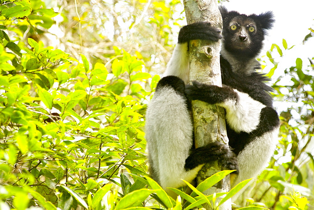 Indri (Indri indri) in the Andasibe-Mantadia National Park in eastern Madagascar, Madagascar, Africa