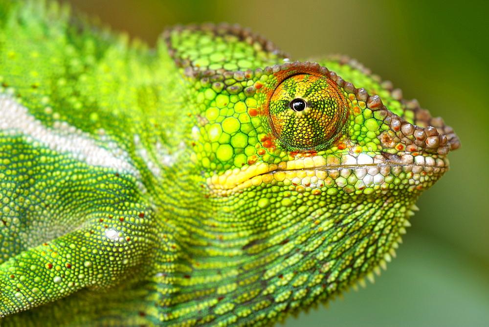 Panther chameleon (Furcifer pardalis) in eastern Madagascar, Madagascar, Africa