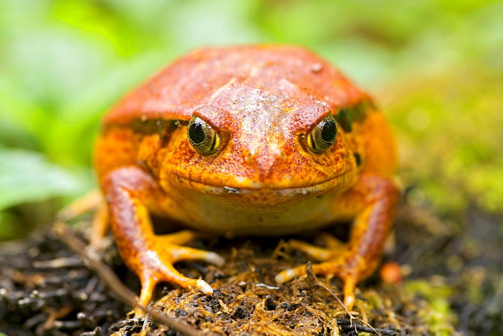 Tomato frog (Dyscophus antongilii) in eastern Madagascar, Madagascar, Africa - 829-1071