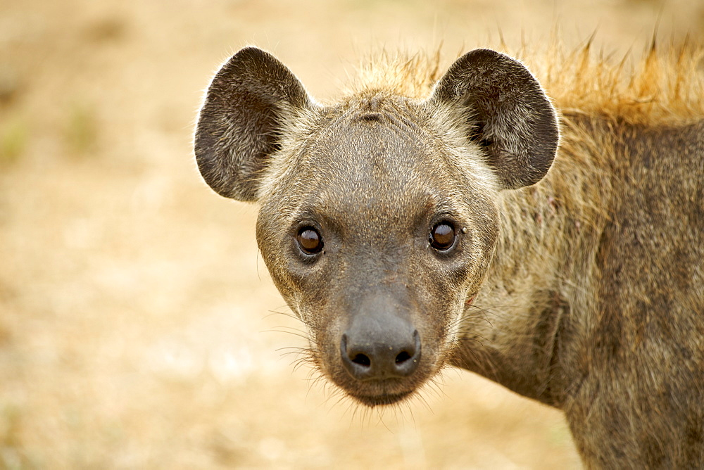 Spotted hyena (laughing hyena) (Crocuta crocuta), Kruger National Park area, South Africa, Africa