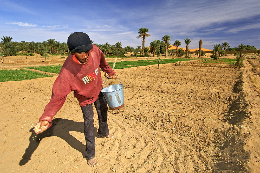 A berber man sowing seeds from a bucket in the plantations of the village of Merzouga on the egde of the Erg Chebbi sand dunes on the periphery of the Sahara desert in eastern Morocco
