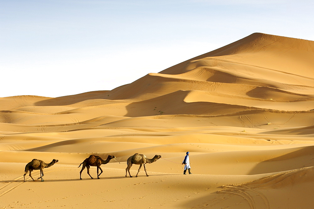 A berber man leading his dromedary camels into the sand dunes of Erg Chebbi near Merzouga on the periphery of the Sahara desert in eastern Morocco