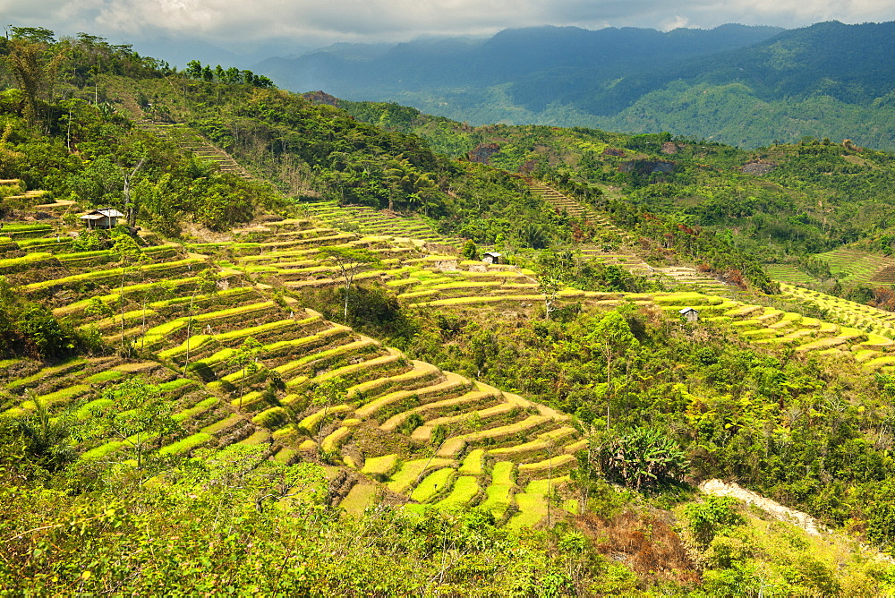 Terraced rice paddies near the town of Ruteng on the island of Flores in Indonesia.
