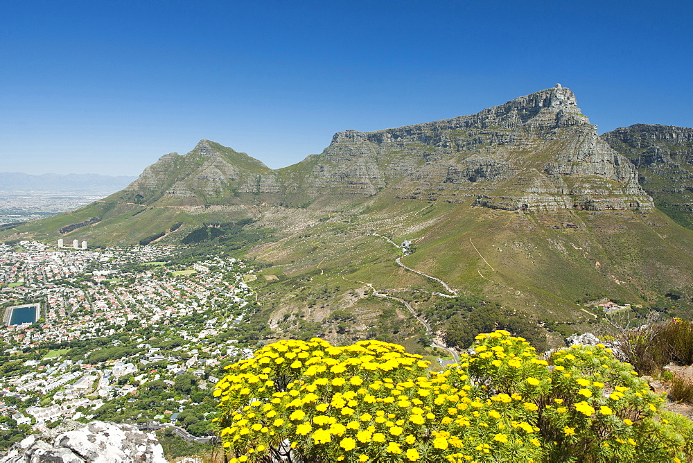Table Mountain in Cape Town, South Africa with a Golden Coulter Bush (Hymenolepis parviflora) in the foreground.
