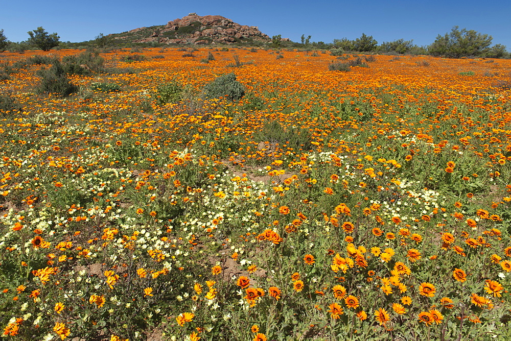 Flowers in the Namaqua National Park in South Africa.