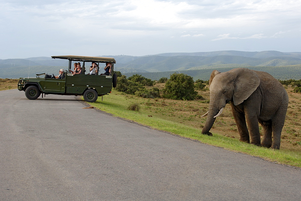 An elephant (Loxodonta africana) and a game viewing vehicle in the Addo Elephant Park in South Africa.