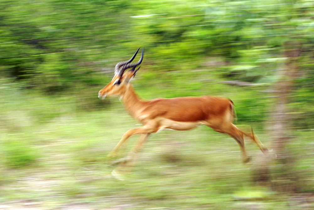 An impala (Apyceros melampus) running in South Africa's Kruger National Park.