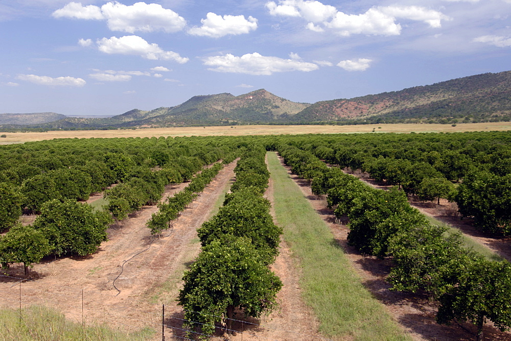 View of an orange orchard and the Magaliesberg mountains in the Rustenberg region of South Africa's North West Province.