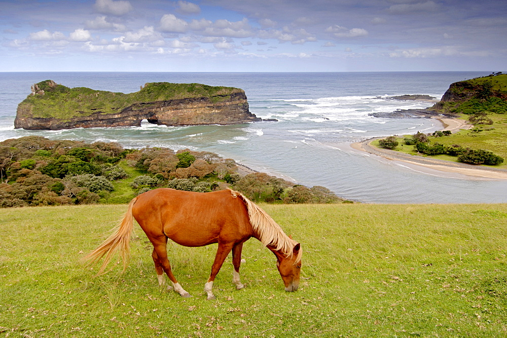 A horse grazing along the wild coast on a hill overlooking Hole in the Wall in a region of South Africa's Eastern Cape Province formerly known as the Transkei.