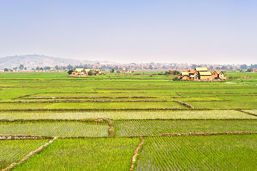 Rice paddies being cultivated on the outskirts of Antananarivo, Madagascar, Africa
