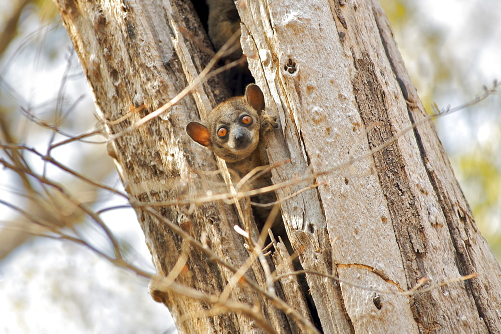 Red-tailed sportive lemur (Lepilemur Ruficaudatus) poking its head out of a tree trunk in the Kirindy Forest Reserve in southwest Madagascar, Madagascar, Africa