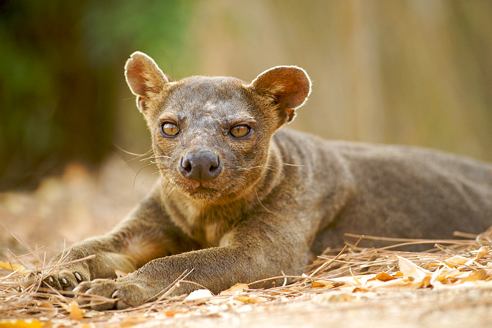 A fossa (Cryptoprocta ferox), one of the few Madagascan carnivores, in Kirindy Forest Reserve in southwest Madagascar, Madagascar, Africa