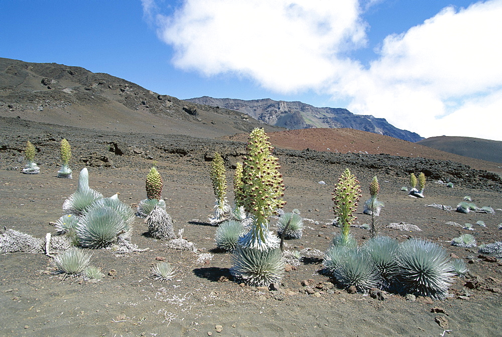 Silverswords, a plant unique to Hawaii which flowers once then dies, growing in vast crater of Haleakala, the world's largest dormant volcano, Maui, Hawaii, Hawaiian Islands, United States of America (U.S.A.), North America