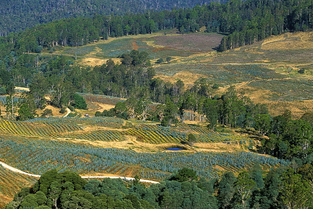 Logged slopes planted with new saplings, deforestation is a big environmental and economic issue in this state, Great Western Tiers, Tasmania, Australia, Pacific - 83-11974