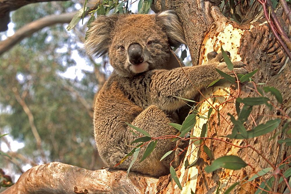Koala in a gum tree at the Koala Conservation Centre on Phillip Island, near Melbourne, Victoria, Australia, Pacific