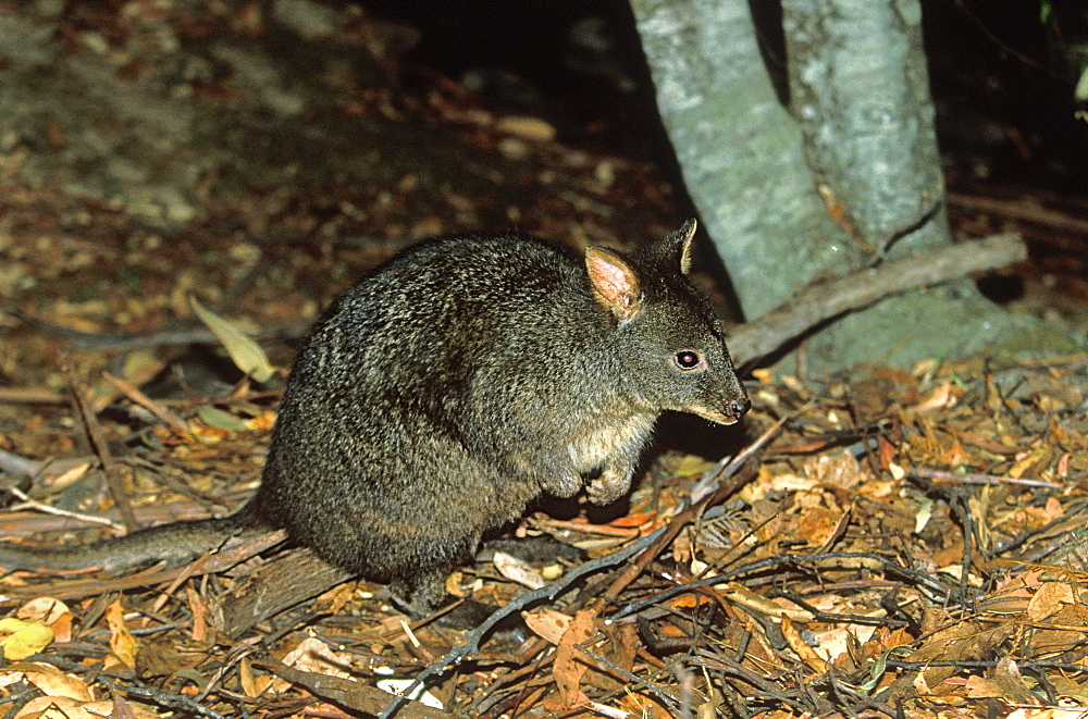 The Tasmanian Pademelon or red-bellied wallaby, a small nocturnal kangaroo-like marsupial, hunted for its fur and extinct on the mainland, Mount Field National Park, the south, Tasmania, Australia, Pacific