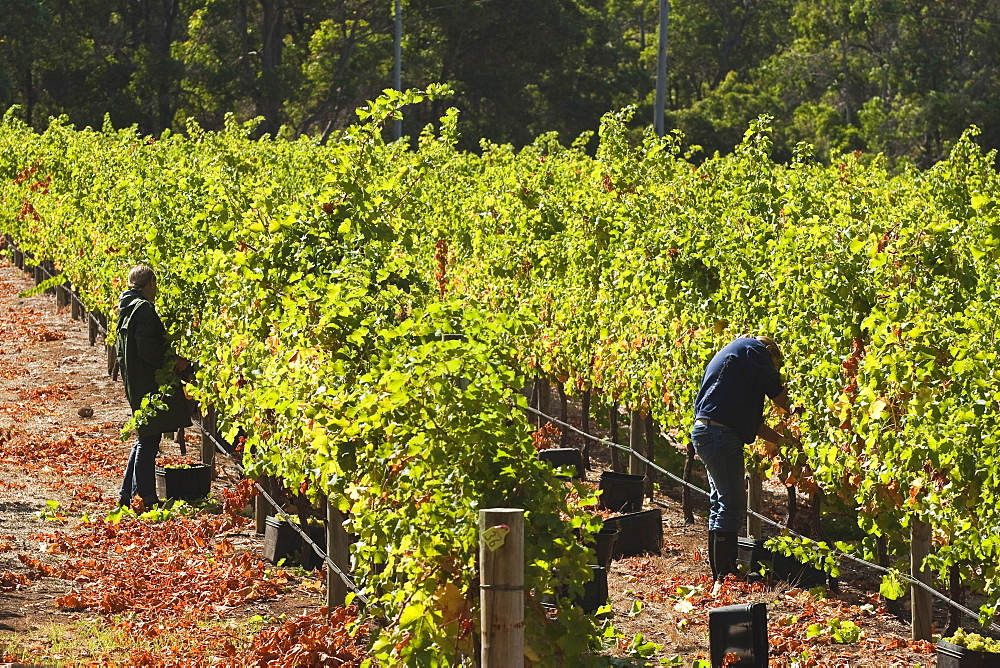 Grape pickers at a winery vineyard in the famous wine growing region of Margaret River, Augusta-Margaret Shire, The South West, Western Australia, Australia, Pacific