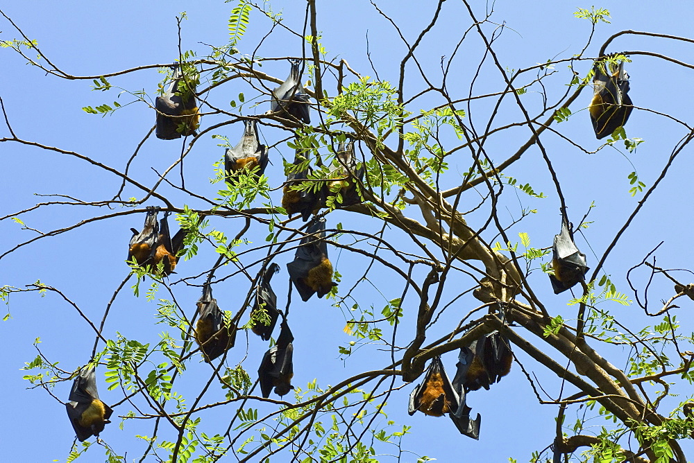 Indian flying-foxes (fruit bats) roosting in the 60 hectare Royal Botanic Gardens at Peradeniya, near Kandy, Sri Lanka, Asia
