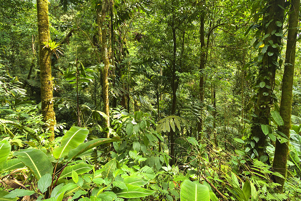 Jungle at Arenal Hanging Bridges where rainforest canopy is accessible via walkways, La Fortuna, Alajuela Province, Costa Rica, Central America