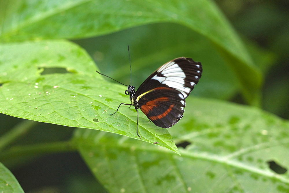 Mechanitis polymnia isthmia butterfly, a common species in Costa Rica; Arenal, Alajuela Province, Costa Rica, Central America