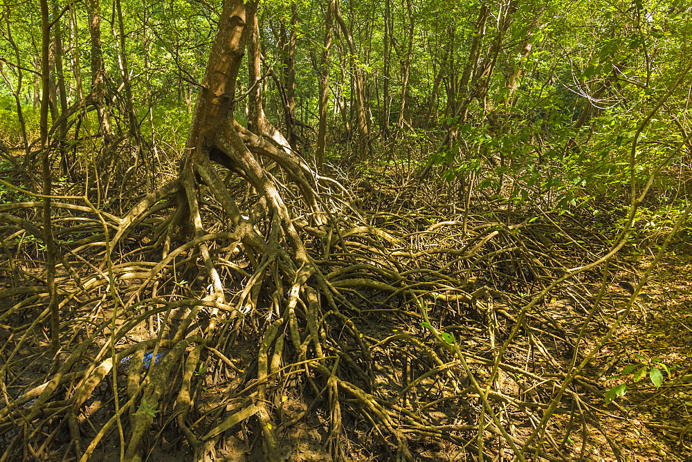 Mangrove forest in the Biological Reserve near the Nosara River mouth; Nosara, Nicoya Peninsula, Guanacaste Province, Costa Rica, Central America