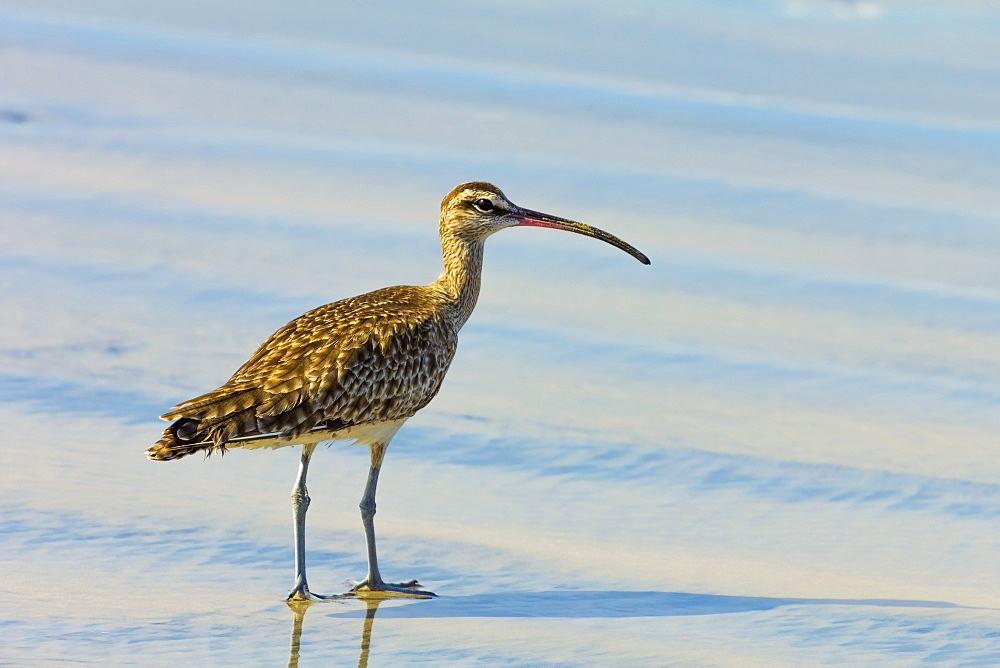 Long-billed Curlew (numenius americanus) on Playa Guiones beach at Nosara, Nicoya Peninsula, Guanacaste Province, Costa Rica, Central America