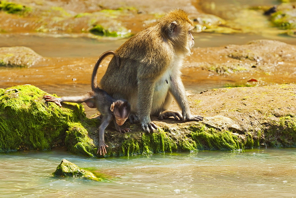 Crab-eating (long-tailed) macaque monkey with baby by a river mouth in the national park at Pangandaran, Java, Indonesia, Southeast Asia, Asia