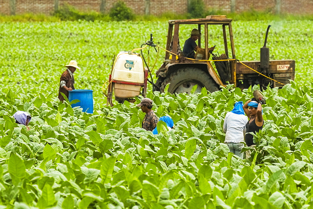 Workers and tractor in field of tobacco plants in an important growing region in the north west, Condega, Nicaragua, Central America