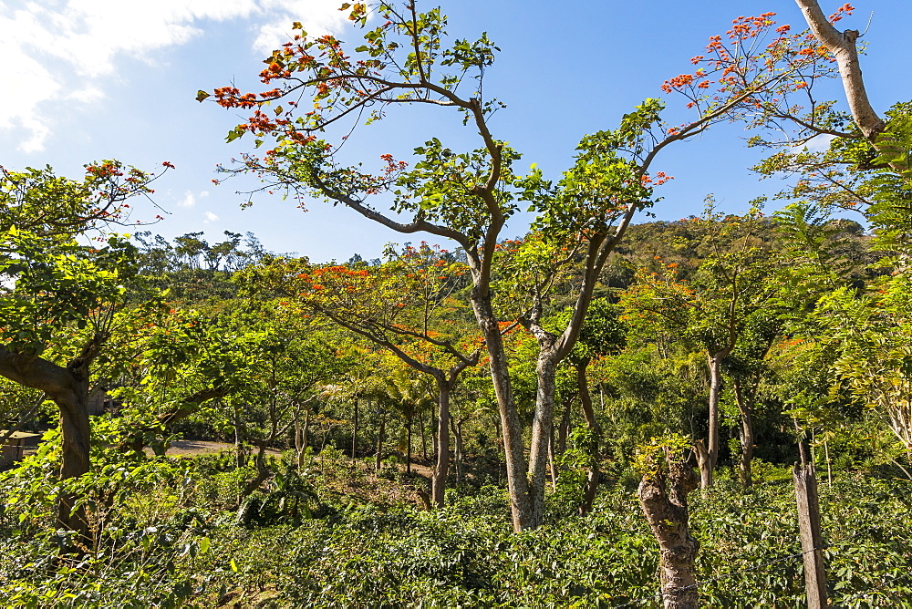 Typical flowering shade tree Arabica coffee plantation in highlands en route to Jinotega, Matagalpa, Nicaragua, Central America