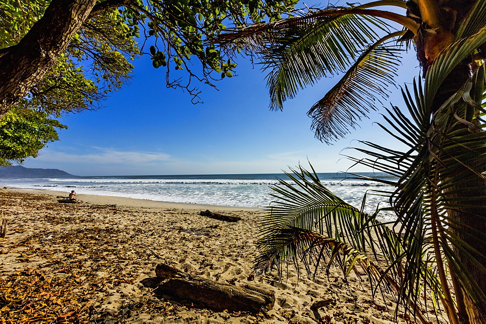 Palm tree at this beautiful surf beach at the southern tip of the Nicoya Peninsula, Santa Teresa, Puntarenas, Costa Rica, Central America