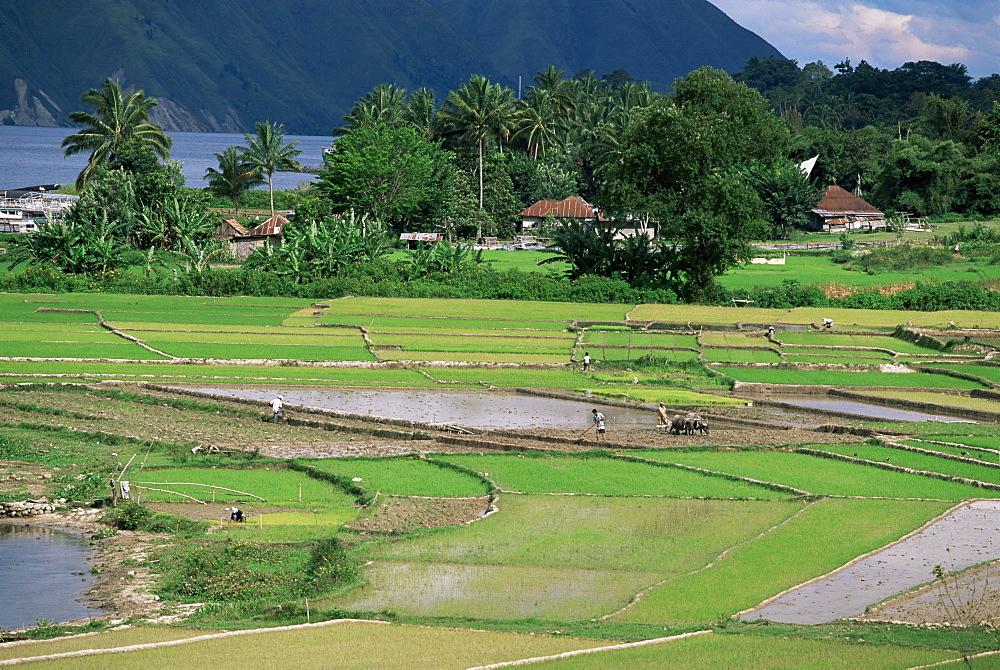 Paddy fields at Tuk Tuk, Samosir Island, lake Toba, Sumatra, Southeast Asia, Asia