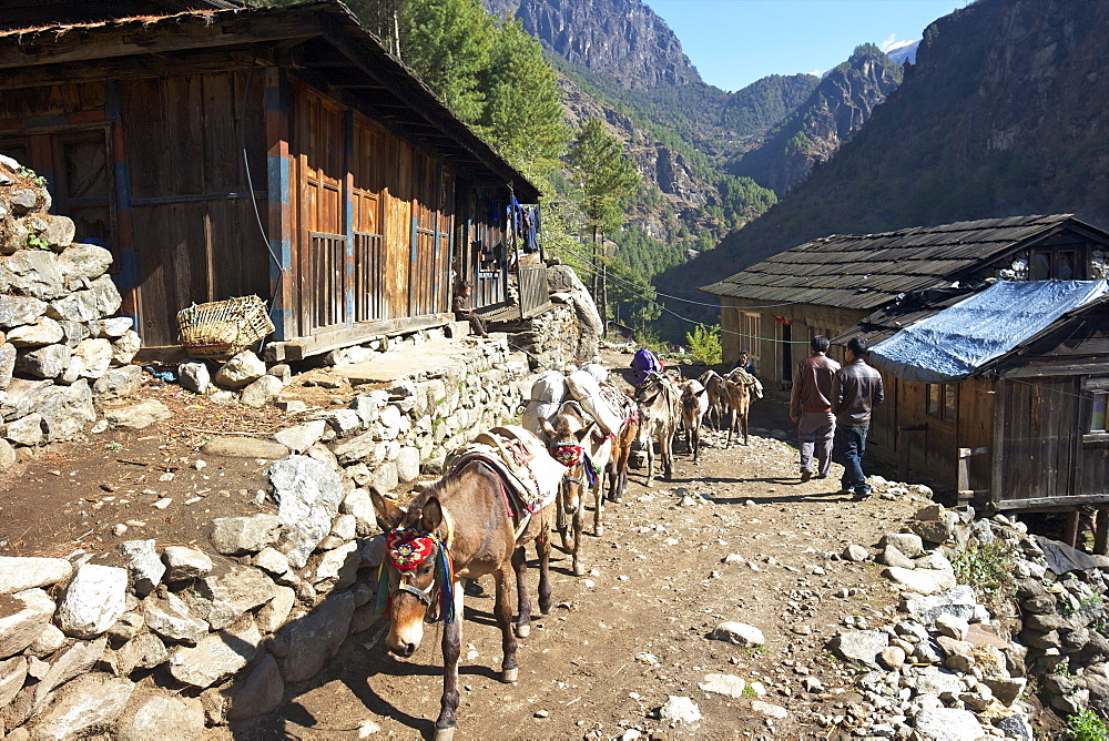 Mule train between Phakding and Namche, Everest Base Camp Trek, Solukhumbu, Nepal, Himalayas, Asia