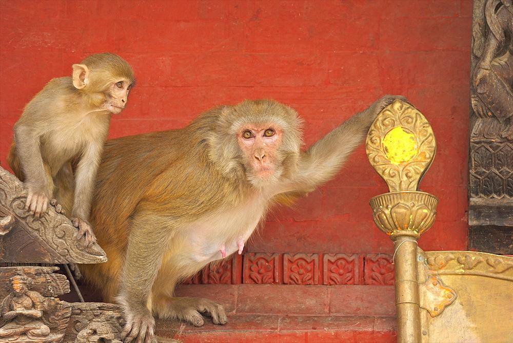 Rhesus Macaque monkey mother and baby on ancient shrine, Swayambhunath Stupa (Monkey Temple), Kathmandu, Nepal, Asia