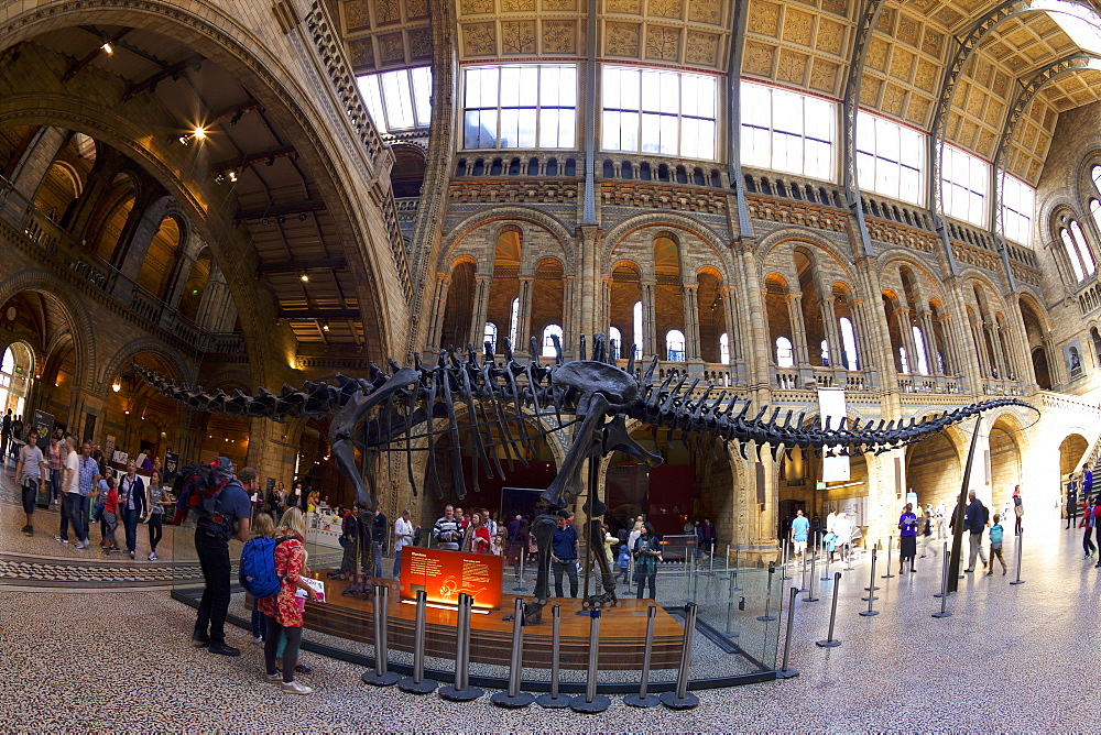 Diplodocus dinosaur, Central Hall, Natural History Museum, South Kensington, London, England, United Kingdom, Europe