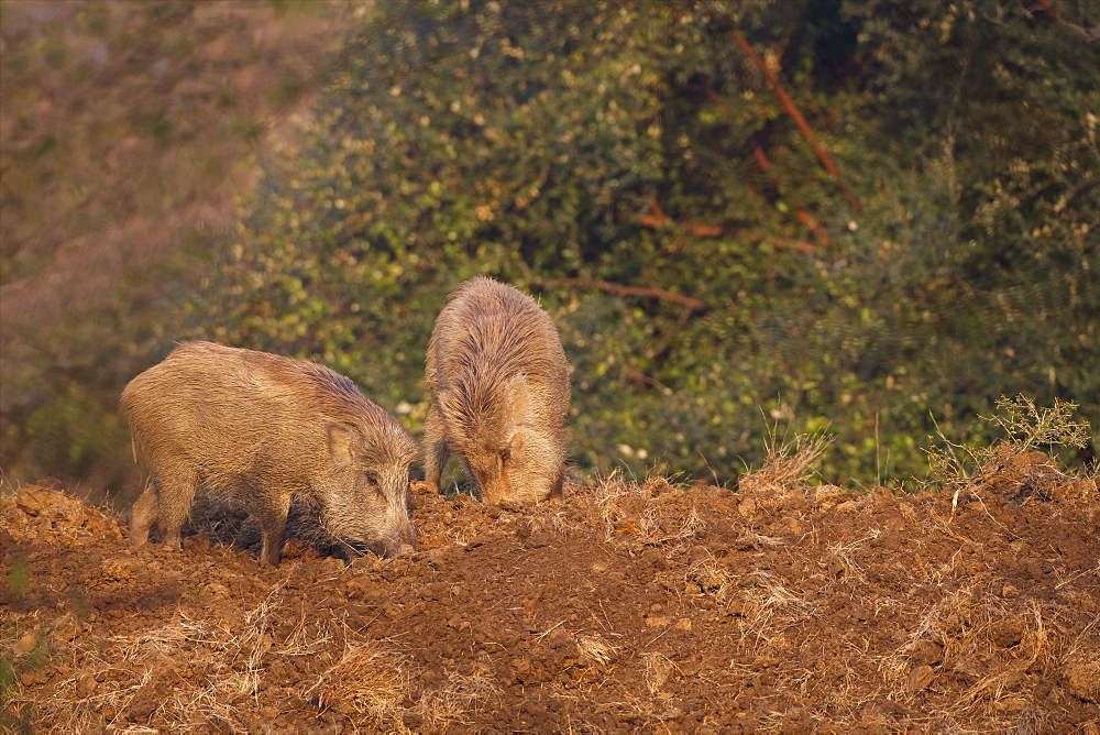 Indian Wild Boar (Sus scrofa cristatus), Ranthambore National Park, Rajasthan, India, Asia