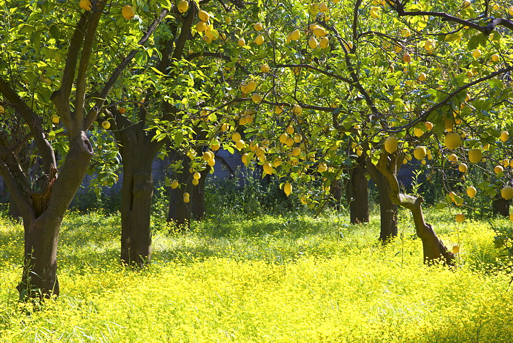 Lemons growing on trees in grove, Sorrento, Campania, Italy, Europe