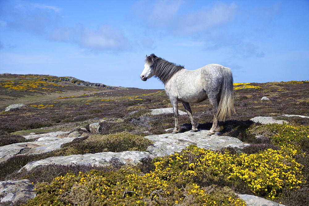 Wild pony grazing on St. Davids Head in spring sunshine, Pembrokeshire National Park, Wales, United Kingdom, Europe